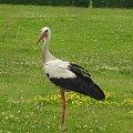 bocian #ptaki #bocian
