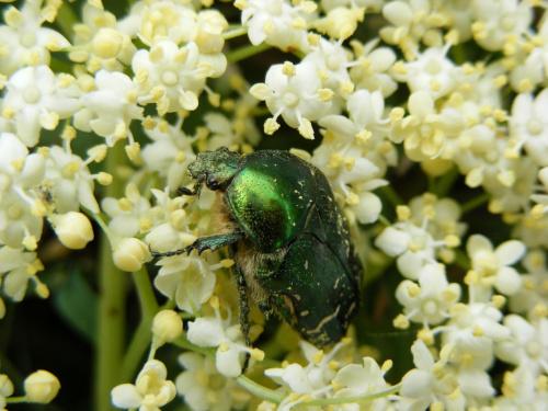 chrząszcz na kwiatach bzu #chrząszcz #owad #rosa #trawa