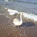 #łabądź #morze #plaza #woda