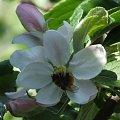 #kwiaty #przyroda #jabłoń #owady #natura