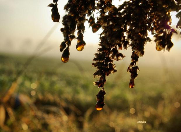 Bursztynowe łzy #poranek #rosa #WschódSłońca