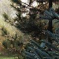 #krople #drzewo #mgła #ranek