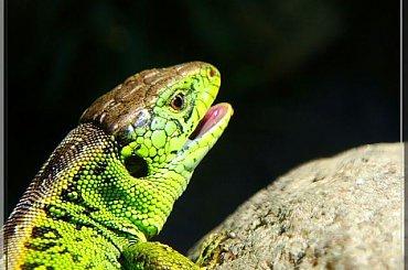 jaszczurka zielona;) samiec #jaszczurka #gad #zwinka #MakroLas #łąka