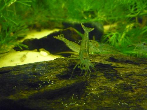 Moje Krewetki Amano #krewetki #akwaria #mięczaki