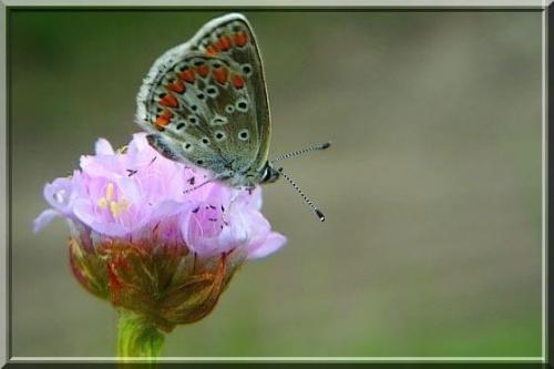 modraszek argus #owad #motyl #ModraszekArgus #makro