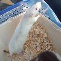 #biały #czerwone #oczka #piękna #rasta #samica #szczur