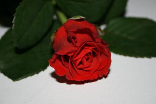 Róża #Kwiaty