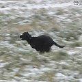 Za ptakami. #boisko #Luna #łąka #pies #śnieg #zima