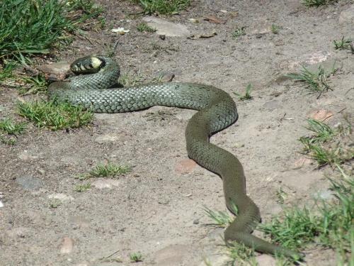 Zaskroniec, 24.05.2009, okolice Szreniawy (Wielkopolski Park Narodowy) #Zaskroniec #gady #węże #NatrixNatrix