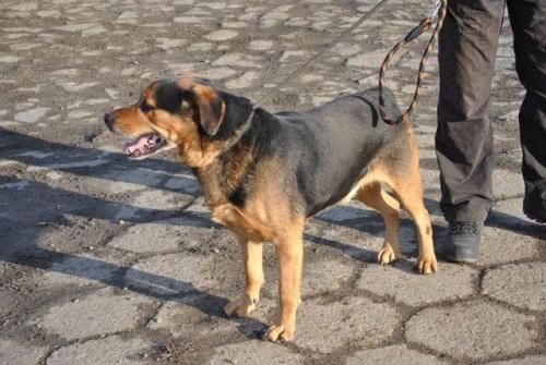 Mix rottka, szuka dobrego domu ! #zwierzęta #psy #dom #adopcja