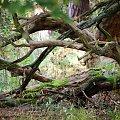 w głębi lasu #las #konar #mech