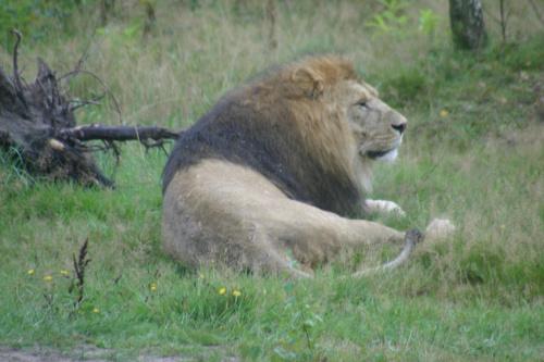 Król się budzi, ale tylko na chwilę :) #lew