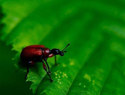 #czerwony #makro #liść #owad