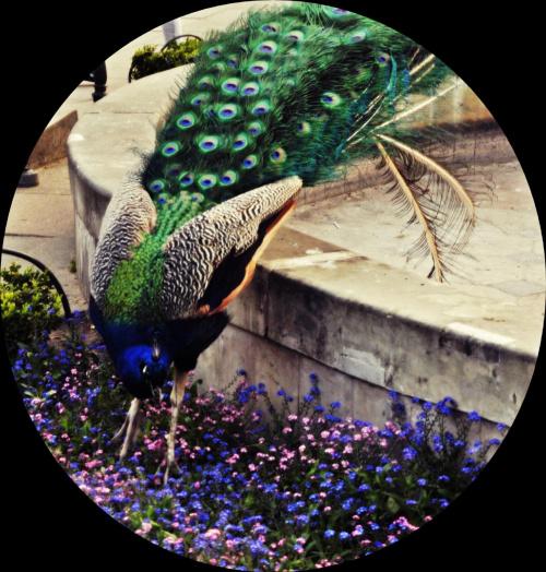 #paw #kwiaty #fiolet