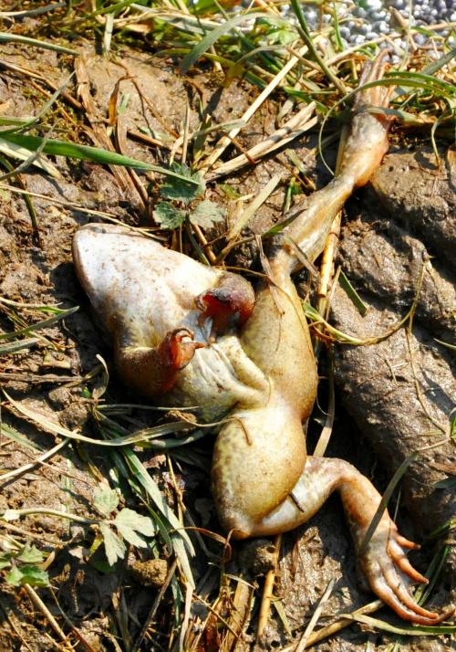 #żaba #śmierć #zwierze #zdechłą #zwierzęta