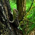 śliczny ze mnie chłopczyk :)) #jaszczurka #gad #zwinka #las #lesna #czerwiec