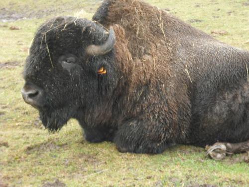 bizon #bizon #Kurozwęki