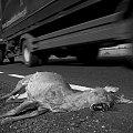 Potrącona sarna #zwierzę #sarna #wypadek #śmierć #potrącona #martwa #samochód #droga