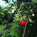 #drzewo #wisnia #zielone #czerwone #czerwona