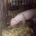 Świnia #ssak #świnia #hodowlane