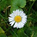 stokrotka #stokrotka #kwiaty #makro
