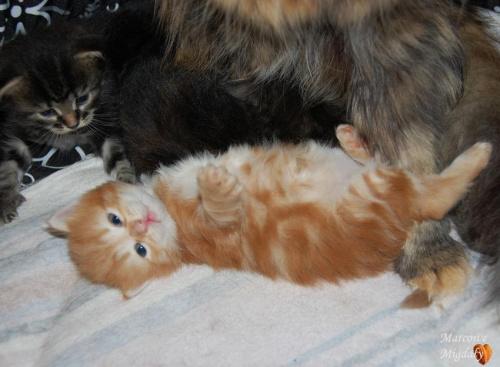 Miot A Marcowe Migdały - kocieta syberyjskie 3,5 tygodnia