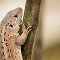 zwinka #jaszczurka #gad #zwinka #samica