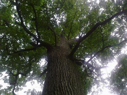 #drzewa #dąb