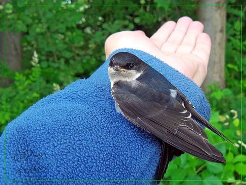 Jaskółka oknówka (Delichon urbicum syn. Delichon urbica) która przysiadła na mojej ręce #ptak #jaskółka #oknówka #ręka