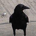 Ach te czarne oczy :) #czarny #kruk #Ptaki #ptak