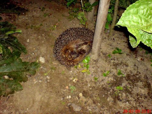 w nocy zawitał do mego ogrodu dobrze że miałam przy sobie komórkę