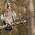 obserwacja.. #gołąb #grzywacz #ptak