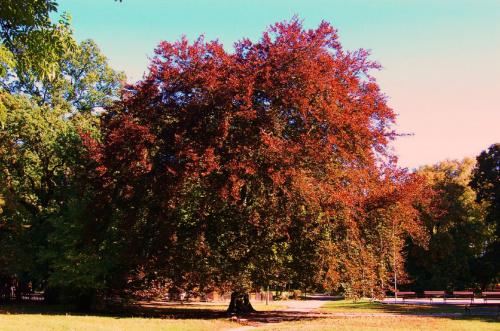 Olbrzymia jesień #drzewa #parki #Wolsztyn