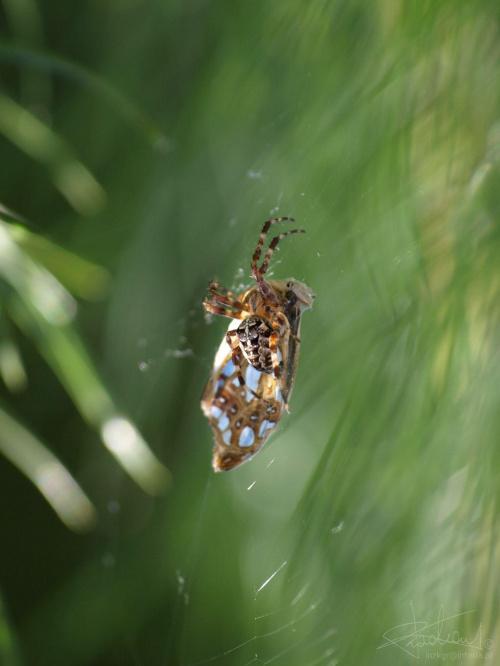 Pająk co lubi krzyżówki :-), 08.2009 [Olympus E-410, Zuiko Digital Tele 70-300] #pająk #drapieżnik #pajęczyna #sieć #natura