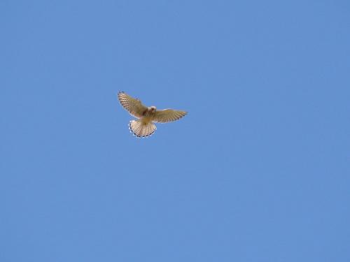 Prawie jak orzeł. #Ptak #pustułka #SokolikPustułka #SokółWieżowy #dzwonniczek #lot