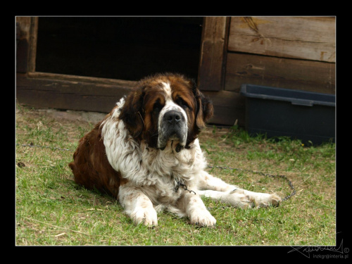 Pies Portos, Skansen, Białystok [Olympus E-410, Zuiko Digital Tele 70-300] #pies #piesek #Portos #bernardyn #zwierzę #miły #Skansen