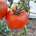 Pomidor #ogród #natura #rosliny #kwiatki #roslinność #roslinnosc #macro #piękno #działka #dojrzewanie #rozkwit #lato #wiosna #ciepło #owoce #drzewka #ogrod #zbiory #plony #OwoceNatury #wieś #wioska #ogródek #ogórek #ogór #woda