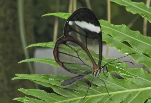 Glasswing Butterfly - Szklarka-Greta #evasaltarski #makro #motyl #owad