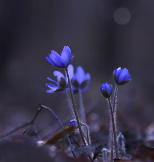 """""""..a za nim przylaszczka rozwija się z pączka... """" #przylaszczka #kwiat #flora"""