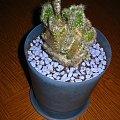 Opuncja #opuncja #opuntia #kaktus #sukulent