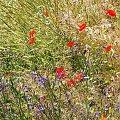 #maki #pole #kwiaty