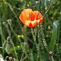 ...cisza...jak makiem zasiał ;) #łąka #pole #maki #mak #natura #przyroda #owady #makro #kościół #BiałoCzarne #baszta #kwiaty #trawa