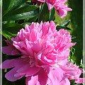 #kwiaty #ogród #piwonie