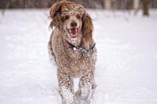 Szczęśliwy #Pies #pudel #zima #snieg