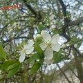 Wiosna! #drzewo #kwiat #wiosna #wiśnia