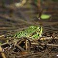 #żaba