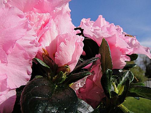Japonska roza
