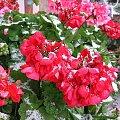 pelargonie na balkonie dziś #kwiaty #pelargonie #rośliny