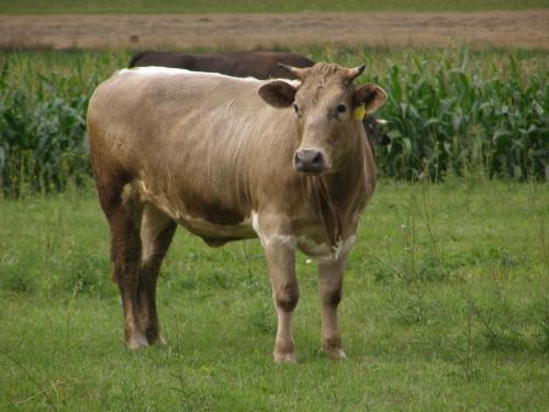 Krowa #krowa #wieś #polana #łąka