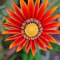 #kwiat #pomarańczowy #żółty #wiosna #lato #łąka #trawa #ciepło